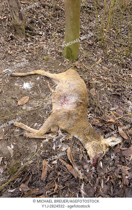 Dead Roe Deer (Capreolus capreolus), Hesse, Germany, Europe