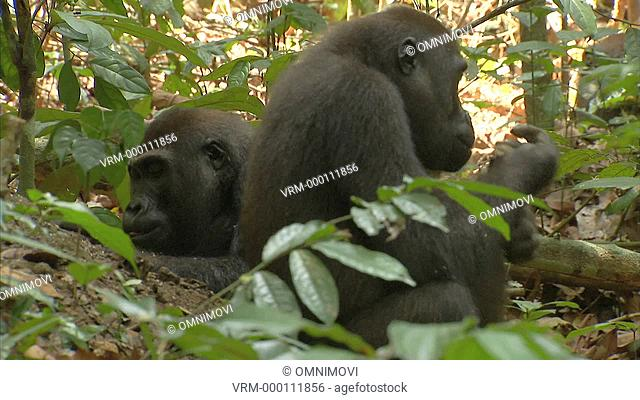 Two Western Lowland Gorillas sitting on forest floor eating surrounded by trees and leaves