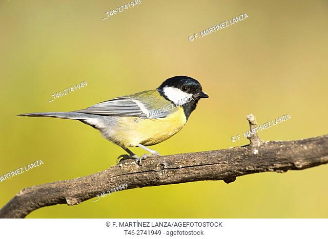 Tit (Parus major). Fresnedilla de la Oliva, Madrid province, Spain
