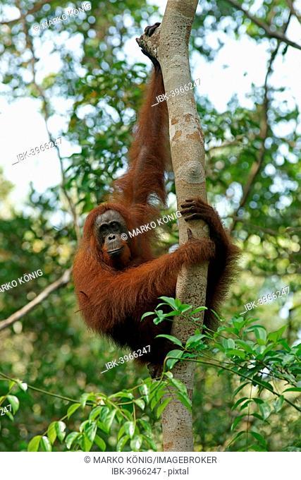 Bornean Orangutan (Pongo pygmaeus), Tanjung Puting National Park, Central Kalimantan, Borneo, Indonesia