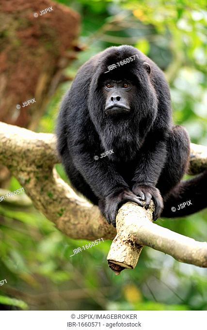 Black Howler (Alouatta caraya), male adult resting in a tree, South America
