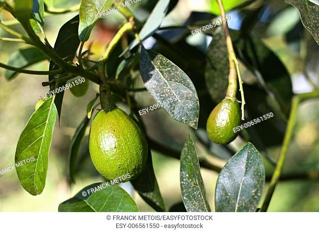 Unripe avocados in a tree in the south of Ethiopia