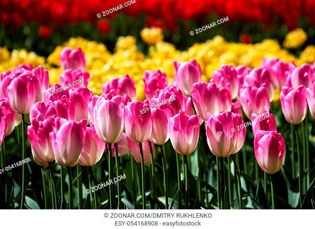 Blooming pink tulips flowerbed in Keukenhof flower garden, also known as the Garden of Europe, one of the world largest flower gardens and popular tourist...