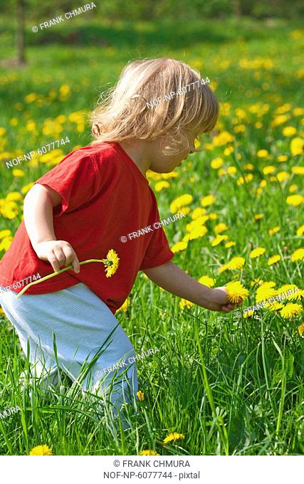 Boy with long blond hair picking dandelions