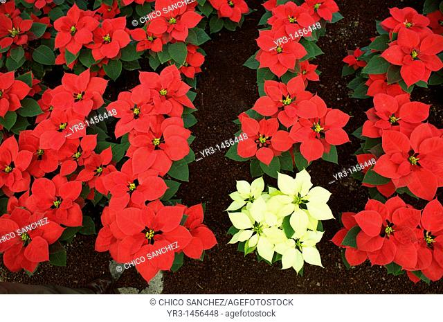 Poinsettias sit on display for sale in a greenhouse in Xochimilco in southern Mexico City. Poinsettias Euphorbia pulcherrima also called Christmas flowers grow...