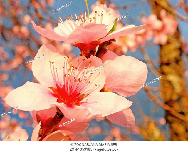 Macro Photography of almond tree in bloom in springtime