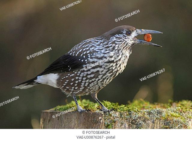 fir jays, bill, davos, caryocatactes, bird, food, Alps