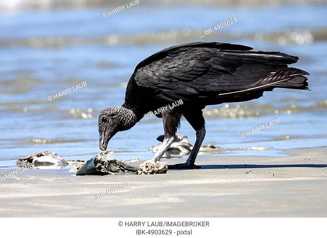Black Vulture (Coragyps atratus) eats washed up dead fish on the beach, Samara, Nicoya Peninsula, Guanacaste Province, Costa Rica