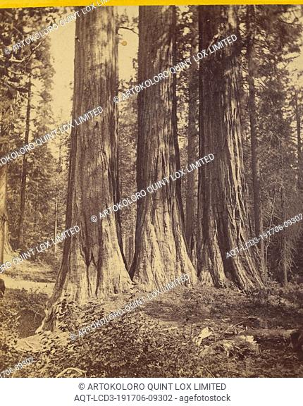 The Three Graces. Each 25 ft. diameter and 300 ft. high. Mammoth Trees, California, Edward and Henry T. Anthony & Co. (American, 1862 - 1902), about 1869–1873
