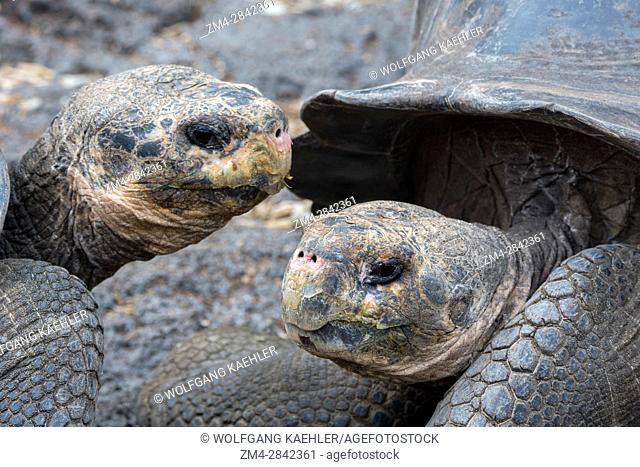 Close-up of Giant tortoises at the Charles Darwin Research Station in Puerto Ayora on Santa Cruz Island (Indefatigable) in the Galapagos Islands, Ecuador