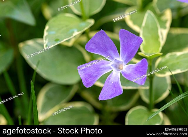 vinca major periwinkle, closeup of the little purple flower