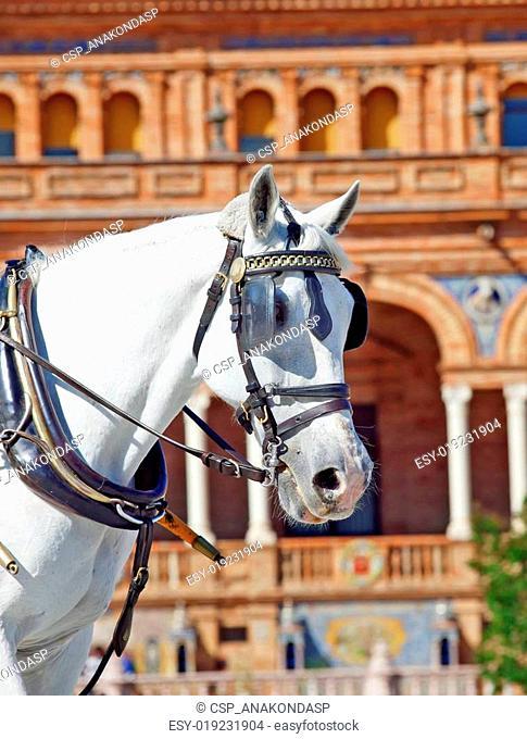 portrait of carriage white horse in Seville (Plaza de Espana), Spain
