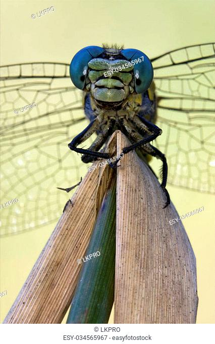 front of wild yellow black dragonfly anax imperator on a wood leaf in the bush