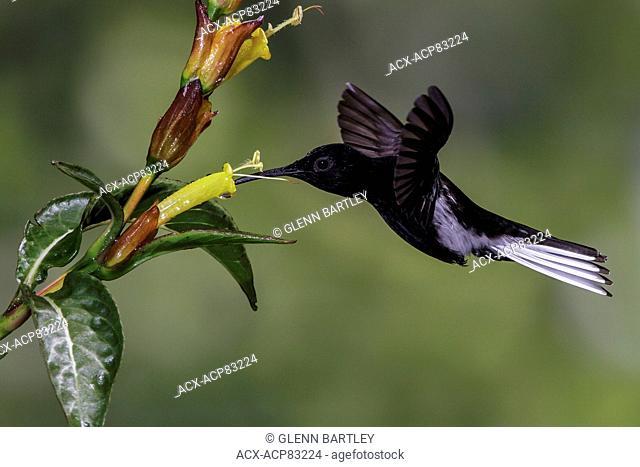 Black Jacobin (Florisuga fusca) flying and feeding at a flower in the Atlantic rainforest of southeast Brazil