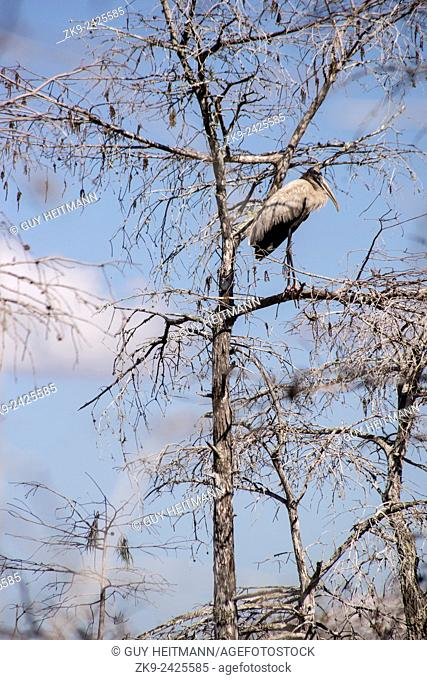 Great Blue Heron, Everglades NP, Florida, USA