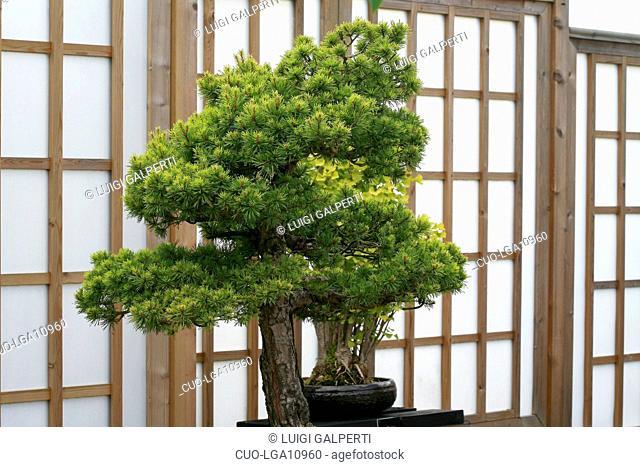 Pinus sylvestris Beuvronensis, bonsai