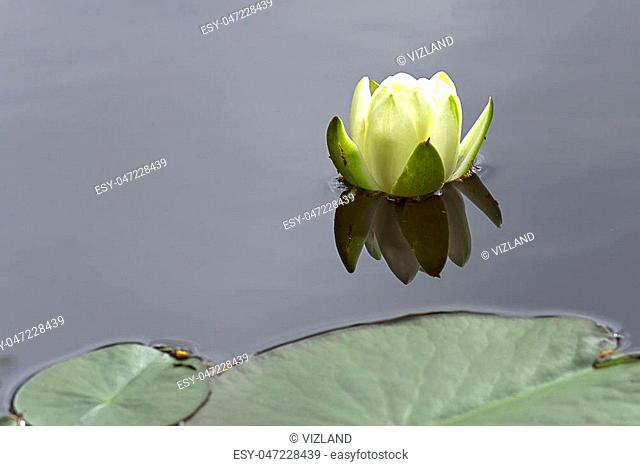 Beautiful blooming flower Is reflected in the lake water. Close-up white water lily on a pond. Nymphaea alba