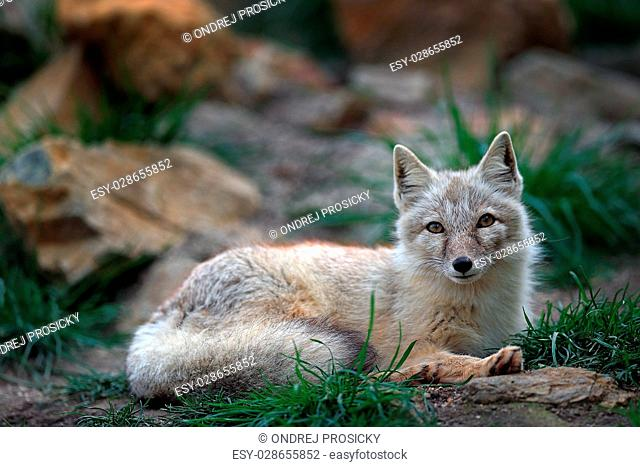 Corsac Fox, Vulpes corsac, in the nature stone mountain habitat