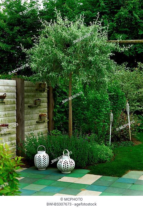 Willow Leafed Pear (Pyrus salicifolia 'Pendula', Pyrus salicifolia Pendula), cultivar Pendula