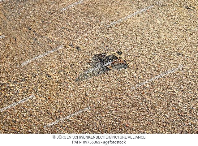 A freshly hatched Green Sea Turtle (Chelonia mydas) walks towards the sea at dawn on a protected stretch of beach near Ras al-Jinz (Oman)