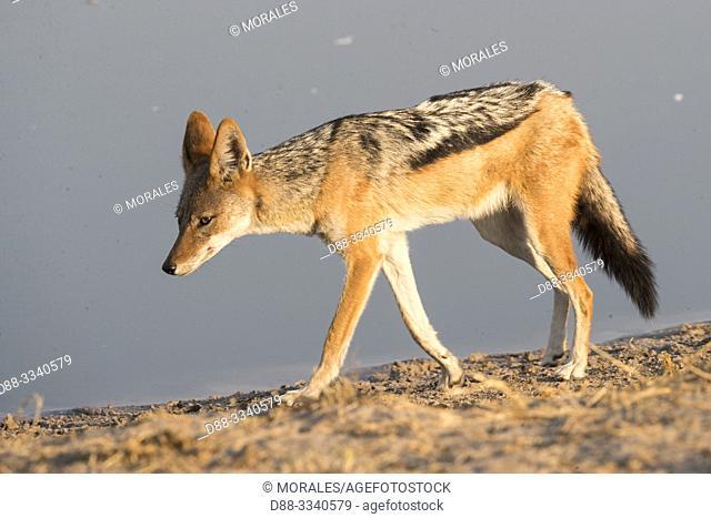 Africa, Southern Africa, Bostwana, Savuti National Park, Black-backed jackal (Canis mesomelas), adult near the water