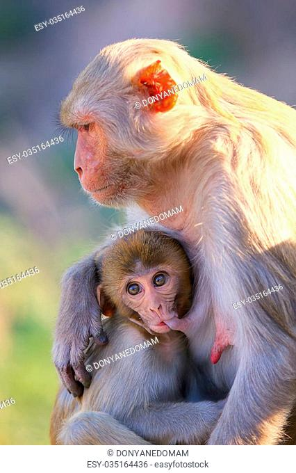 Rhesus macaque (Macaca mulatta) with a baby sitting near Galta Temple in Jaipur, India. The temple is famous for large troop of monkeys who live here