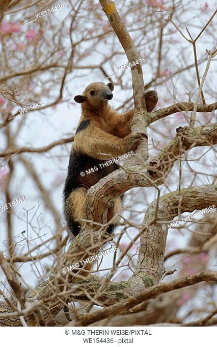 Southern tamandua or collared anteater or lesser anteater (Tamandua tetradactyla) climbing on a tree, Pantanal, Mato Grosso, Brazil