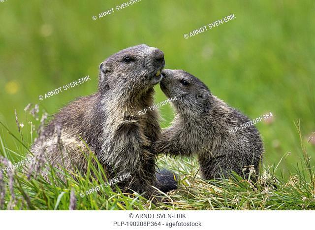 Alpine marmot (Marmota marmota) young greeting parent, Hohe Tauern National Park, Carinthia, Austria