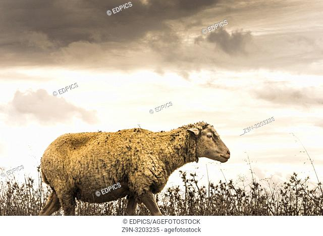 sheep on a meadow, storm approaching, alentejo, portugal
