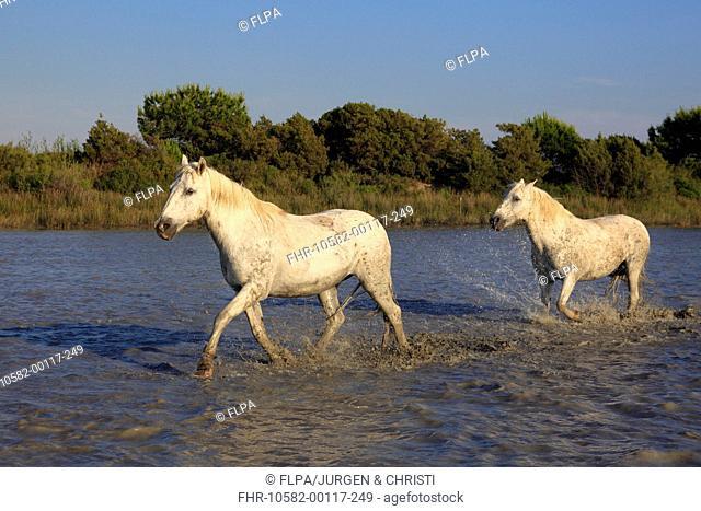 Camargue Horse, two adults, running in water, Saintes Marie de la Mer, Camargue, Bouches du Rhone, France