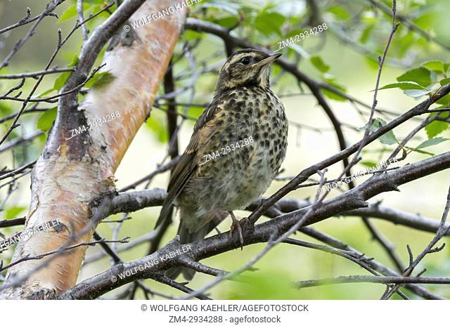 A Redwing (Turdus iliacus) is sitting in a tree at Lake Myvatn in Northeast Iceland
