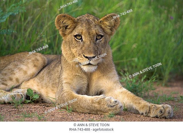 Lion Panthera leo, cub, Kruger National Park, South Africa, Africa