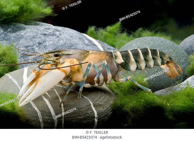 Zebra Crayfish (Cherax peknyi), in aquarium