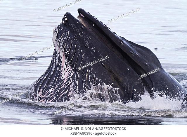 Adult humpback whales Megaptera novaeangliae co-operatively bubble-net feeding in Snow Pass, Southeast Alaska, USA  Pacific Ocean