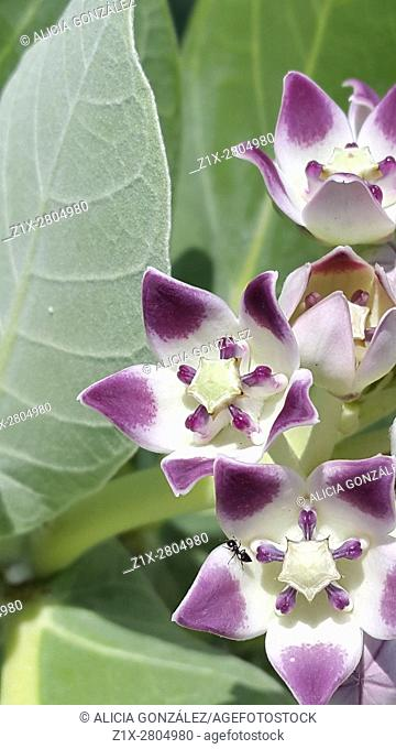 Calotropis Procera Leaves,Calotropis Procera Flowers, Giant Swallow Wort.Asclepiadaceae, Calotropis procera plays an important role in improving soil fertility...