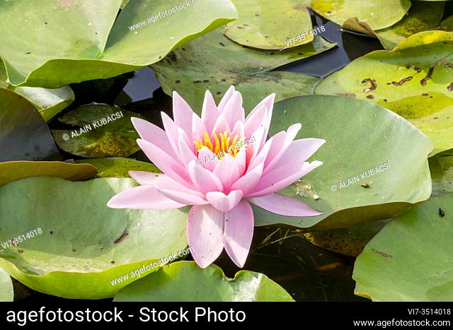 Water lily / Nymphaea 'American Star'