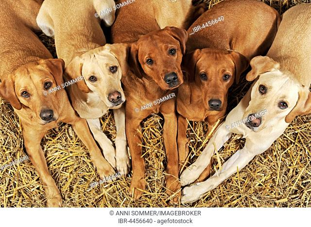 Labrador Retrievers, dogs and bitches, yellow, lying in straw