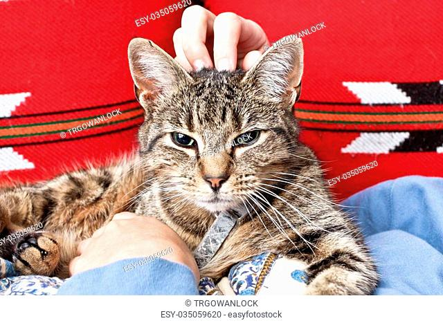 A tabby cat being stroked by a woman's hands