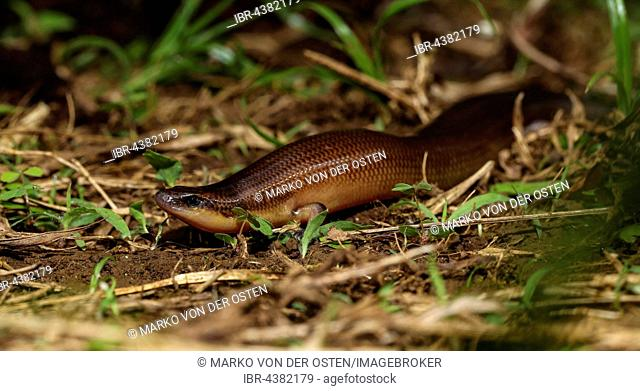Straight lizard (Madascincus polleni), Amber Mountain National Park, Northern Madagascar, Madagascar