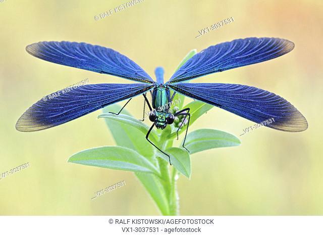 Beautiful Demoiselle ( Calopteryx virgo ), blue damselfly, frontal view, showing details of its wings, wildlife, Europe