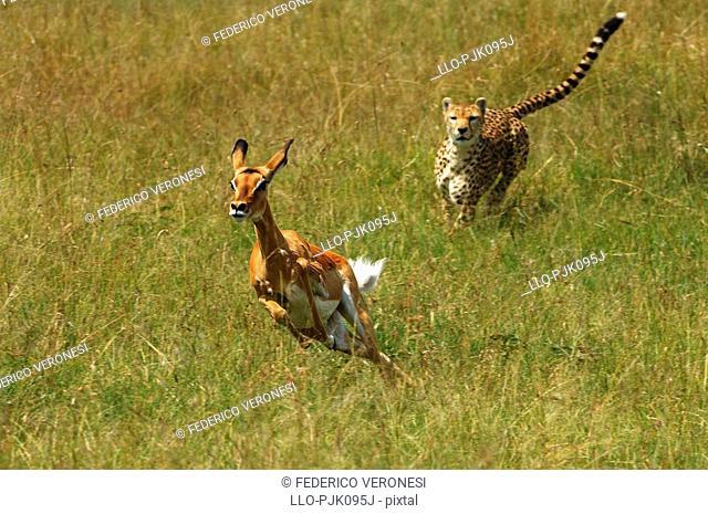 Cheetah Acinonyx jubatus chasing female Impala Aepyceros melampus. Olare Orok Conservancy, Masai Mara, Narok District, Kenya