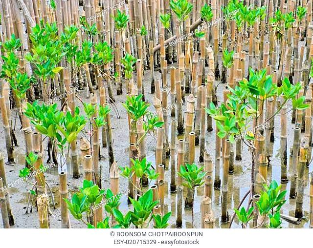 Enviorment-friendly with mangrove plantation
