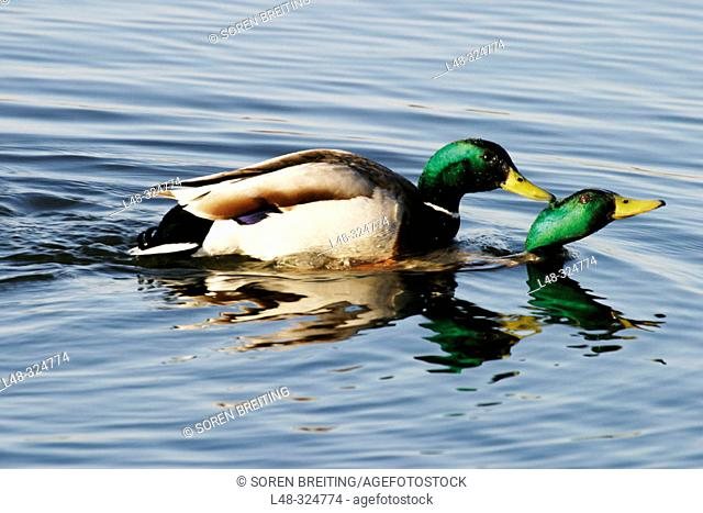 One male Mallard (Anas platyrhynchos) is biting another male mallard and hold it under water in a lake in early breeding time (spring)