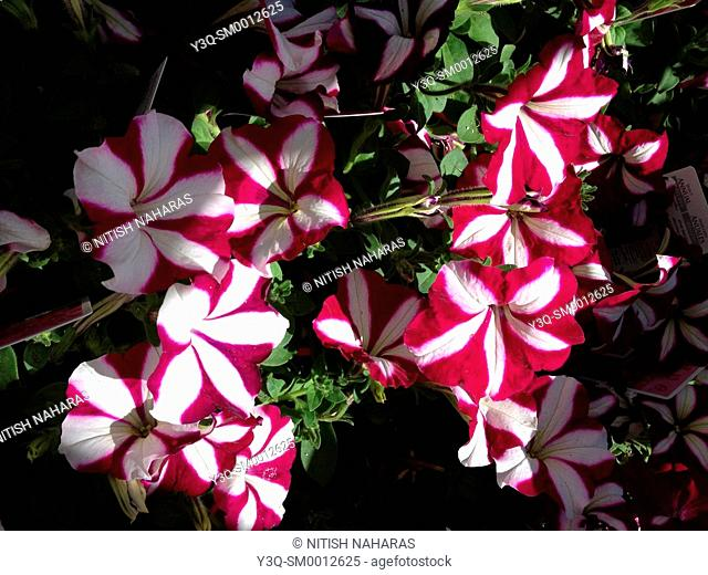 Striped Red and White Flowers