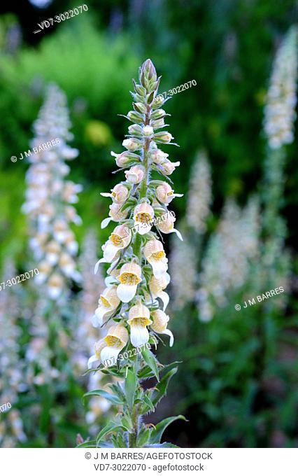 Grecian foxglove or woolly foxglove (Digitalis lanata) is a biennial or perennial poisonous plant native to eastern Europe
