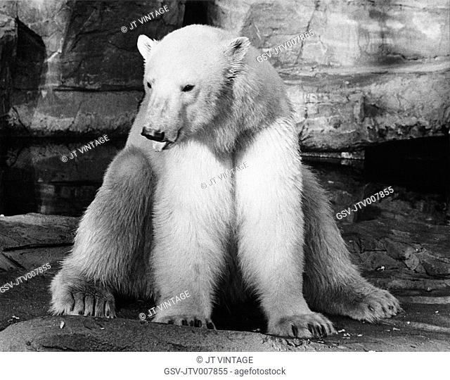 Polar Bear, Brookfield Zoo, Chicago Zoological Park, 1975