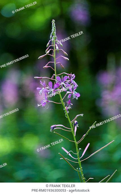Rosebay Willowherb, Epilobium angustifolium / Schmalblättriges Weidenröschen, Epilobium angustifolium