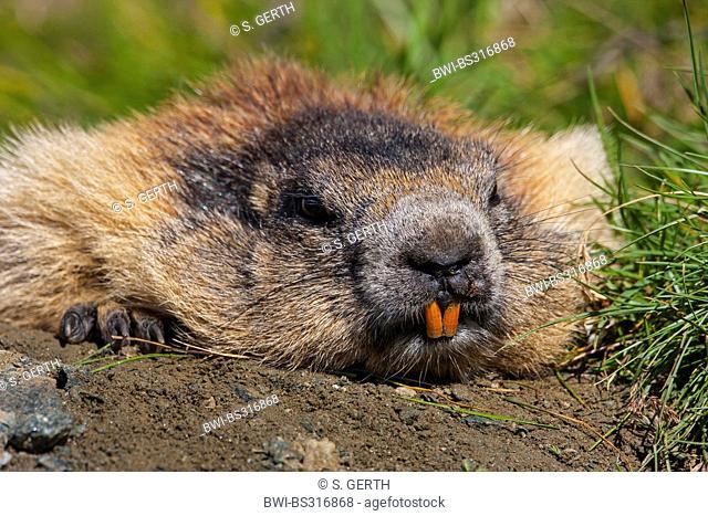 alpine marmot (Marmota marmota), sunbathing in the morning sun in front of its den, Austria, Hohe Tauern National Park, Grossglockner