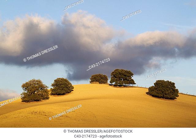 Holm oaks (Quercus ilex) on a cultivated field. Málaga province, Andalusia, Spain