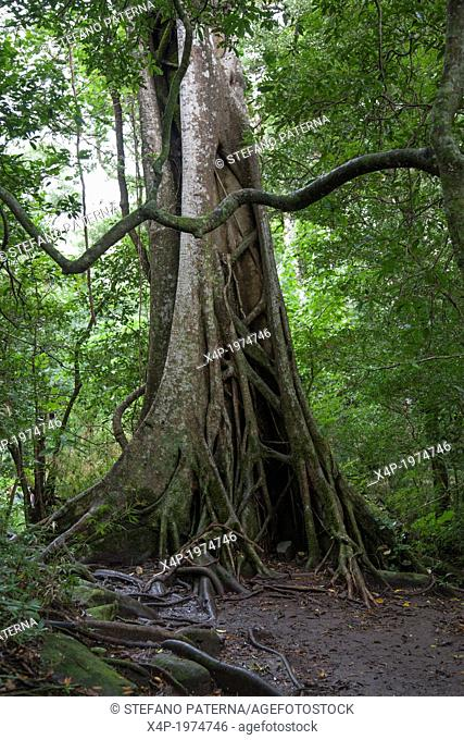 Buttress Roots, Fig Tree, Rincon de la Vieja National Park, Costa Rica